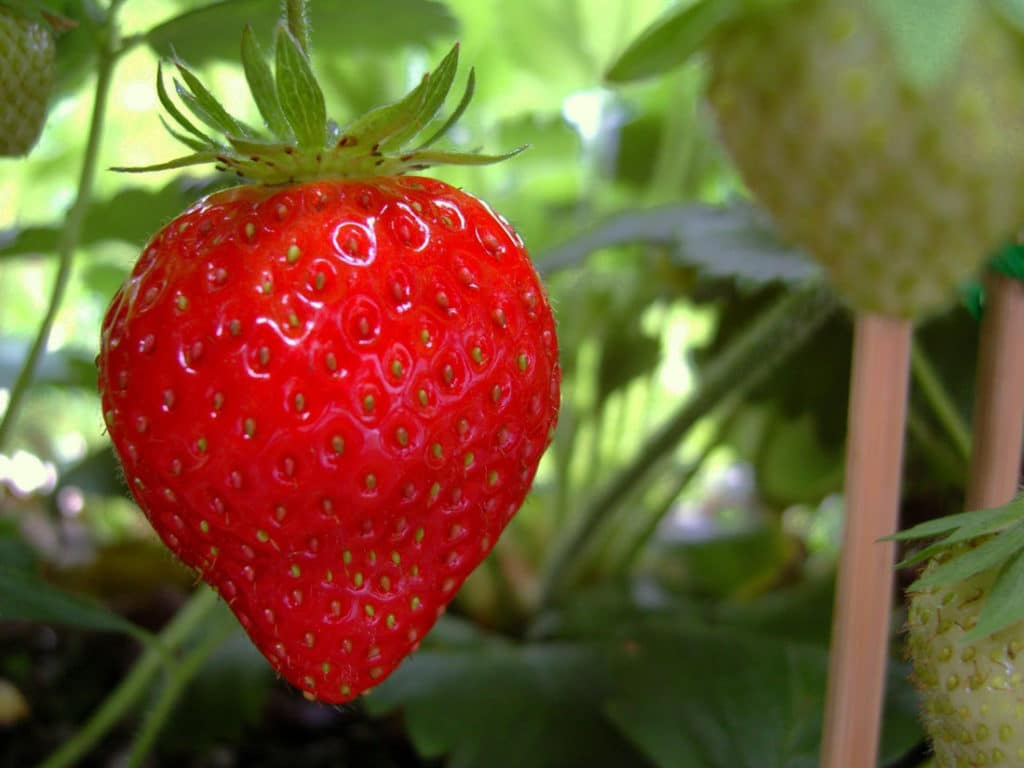 fraise jardin