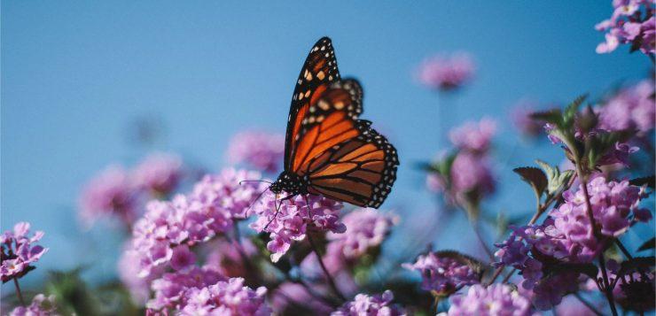 Comment attirer les papillons dans mon jardin ?