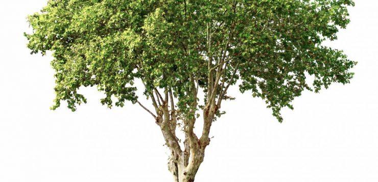 Comment savoir si un olivier est mort ?